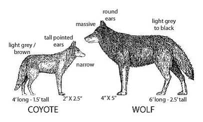 Wolfen Charms • Wolf Facts