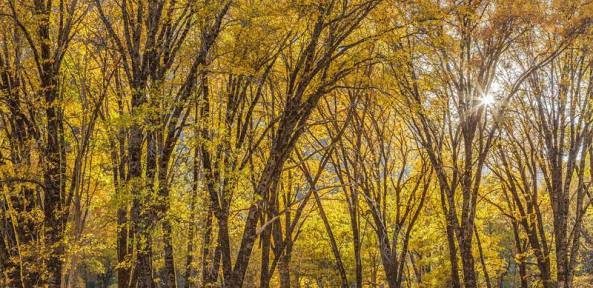 william_neill_more_fall_trees