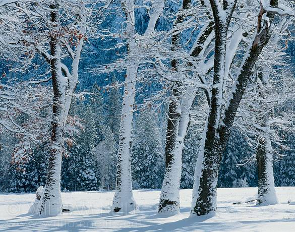 william_neill_winter_trees