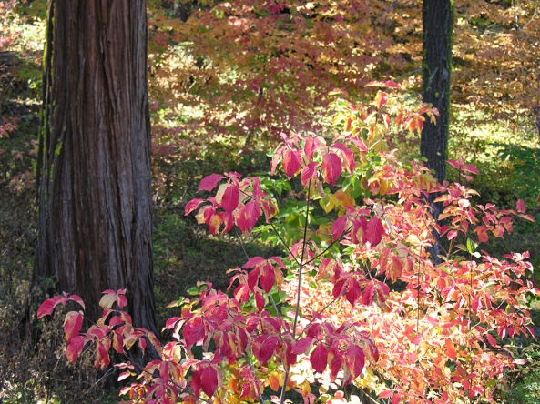 Dogwood trees in the fall. Photo by Kenny Karst.
