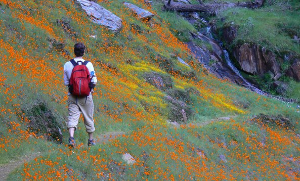 Poppies and Goldfields on the trail to Hite Cove.