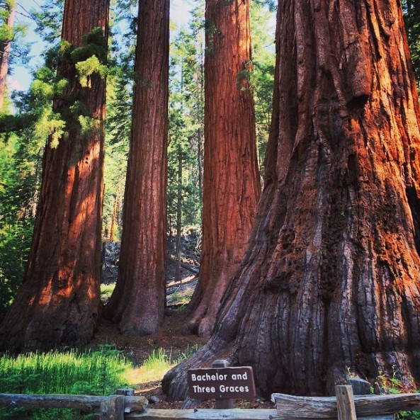 The Bachelor and Three Graces at Mariposa Grove