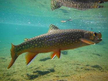 Brook Trout in Yosemite Harry Vanderburg